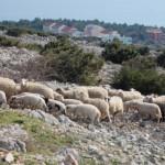 Schafherde auf Pag