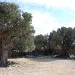 Olivenhain bei Lun