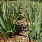 Foto: Aloe Vera Pflanzen