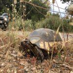 Schildkröte am Lykodimos