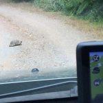 Schildkröte auf Strasse